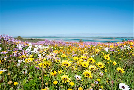 scenic and spring (season) - Field of flowers in rural landscape Stock Photo - Premium Royalty-Free, Code: 649-06432635