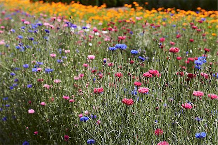 Row of colorful flowers in field Stock Photo - Premium Royalty-Free, Code: 649-06433411