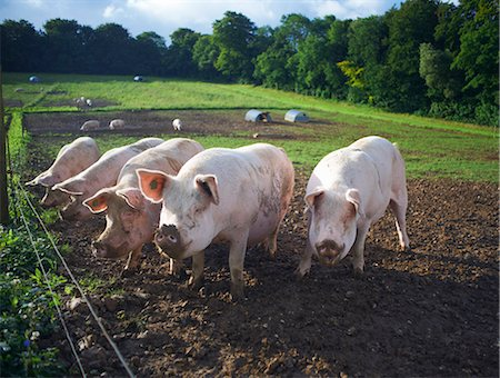 five animals - Pigs rooting in dirt field Stock Photo - Premium Royalty-Free, Code: 649-06489845