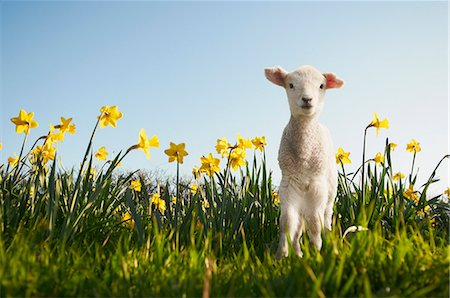 Lamb walking in field of flowers Stock Photo - Premium Royalty-Free, Code: 649-06489869