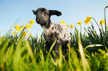 Lamb walking in field of flowers Stock Photo - Premium Royalty-Free, Code: 649-06489870