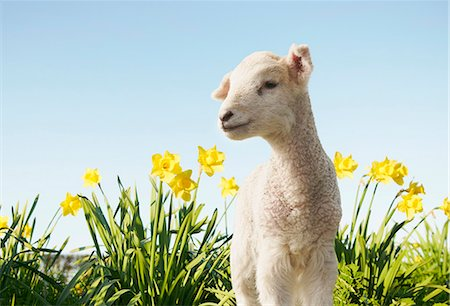 Lamb walking in field of flowers Stock Photo - Premium Royalty-Free, Code: 649-06489872