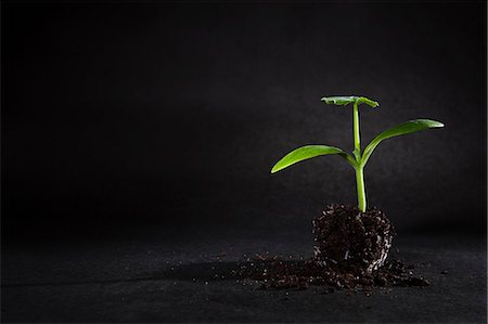 sprout - Sprouting seed depotted Stock Photo - Premium Royalty-Free, Code: 649-06532928