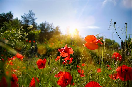 Red flowers growing in field Stock Photo - Premium Royalty-Free, Code: 649-06622287