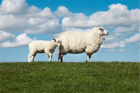 domestic sheep - Two sheep in field Stock Photo - Premium Royalty-Free, Code: 649-06812726