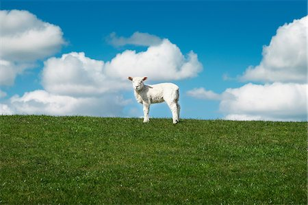 fresh - One sheep in field Stock Photo - Premium Royalty-Free, Code: 649-06812723