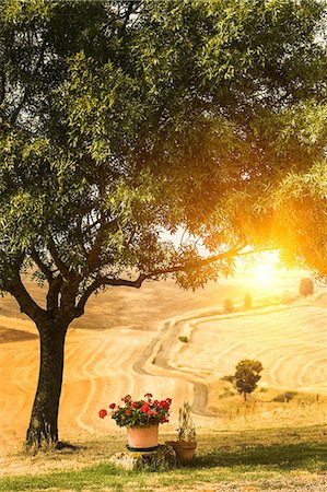 Flower pots and tree in Tuscan landscape, Italy Stock Photo - Premium Royalty-Free, Code: 649-06829874