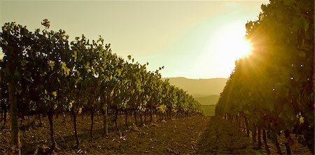 Close up of grapevines at sunset, Tuscany, Italy Stock Photo - Premium Royalty-Free, Code: 649-06829895