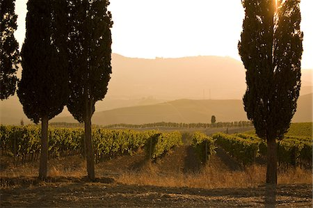 Grapevines and cypress trees, Tuscany, Italy Stock Photo - Premium Royalty-Free, Code: 649-06829892