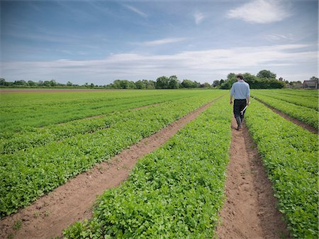 Man inspecting field of crops Stock Photo - Premium Royalty-Free, Code: 649-07064607