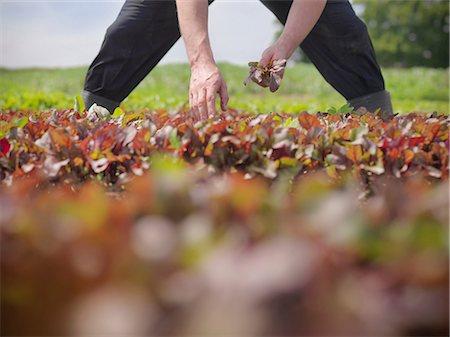 Worker picking salad crop Stock Photo - Premium Royalty-Free, Code: 649-07064603