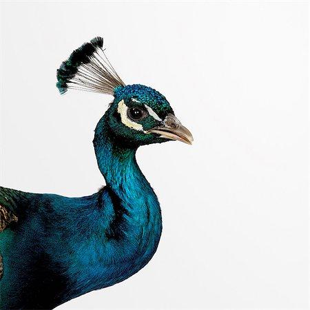 Peacock Stock Photo - Premium Royalty-Free, Code: 649-07065118