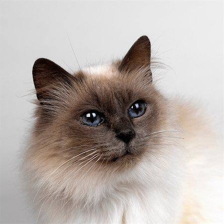 pictures cats - Birman Stock Photo - Premium Royalty-Free, Code: 649-07065134
