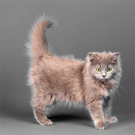 fluffy - Long haired blue grey kitten Stock Photo - Premium Royalty-Free, Code: 649-07065147