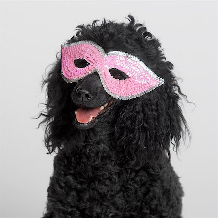 femininity - Black MIniature Poodle wearing pink mask Stock Photo - Premium Royalty-Free, Code: 649-07065219