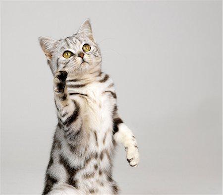 Silver tabby kitten lifting paw Stock Photo - Premium Royalty-Free, Code: 649-07065228