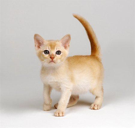 Yellow kitten Stock Photo - Premium Royalty-Free, Code: 649-07065237