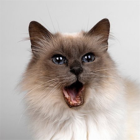 pictures cats - Birman with mouth opened Stock Photo - Premium Royalty-Free, Code: 649-07065232