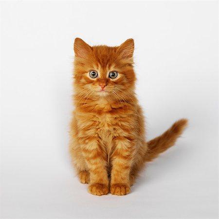 Portrait of ginger kitten Stock Photo - Premium Royalty-Free, Code: 649-07065251