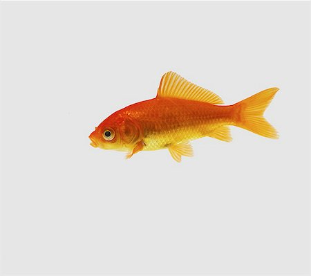 Goldfish Stock Photo - Premium Royalty-Free, Code: 649-07065266