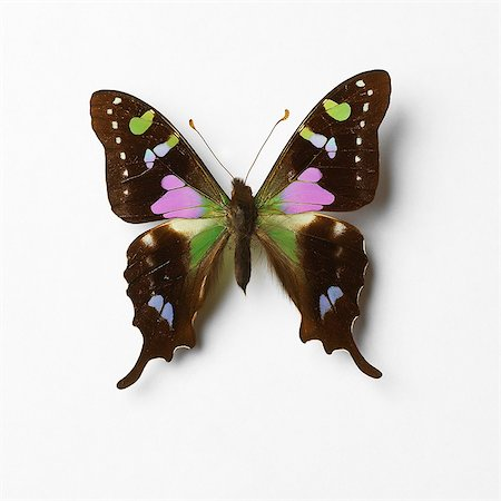 Butterfly Stock Photo - Premium Royalty-Free, Code: 649-07065286