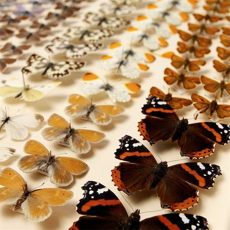 Collection of butterflies Stock Photo - Premium Royalty-Free, Code: 649-07065287