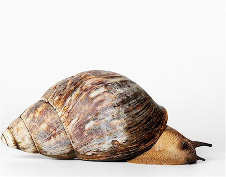 Giant African snail Stock Photo - Premium Royalty-Free, Code: 649-07065281