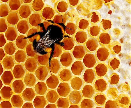 Bee on honey comb Stock Photo - Premium Royalty-Free, Code: 649-07065294