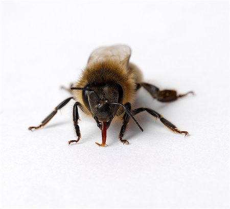 Honey bee with tongue out Stock Photo - Premium Royalty-Free, Code: 649-07065299