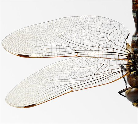 Dragonfly wings Stock Photo - Premium Royalty-Free, Code: 649-07065292