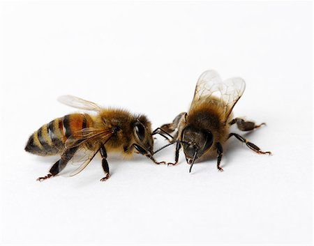 Honey bees Stock Photo - Premium Royalty-Free, Code: 649-07065300