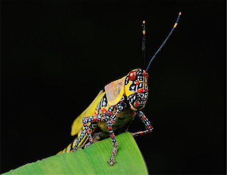 Multi colored locust Stock Photo - Premium Royalty-Free, Code: 649-07065302