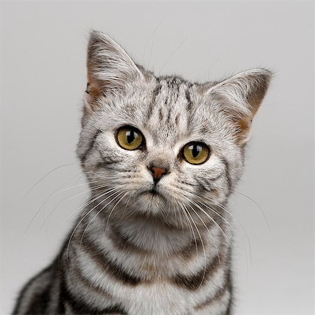 pictures cats - Young silver tabby cat Stock Photo - Premium Royalty-Free, Code: 649-07065314