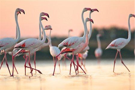 pink - Group of flamingos at dawn, Oristano Region in Sardinia, Italy Stock Photo - Premium Royalty-Free, Code: 649-07063203