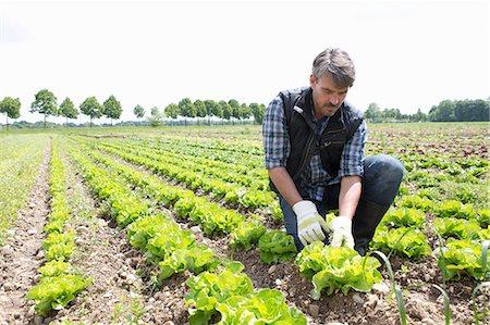 Organic farmer harvesting lettuce Stock Photo - Premium Royalty-Free, Code: 649-07063420