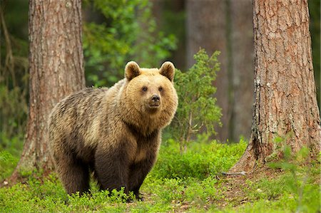 Brown bear walking through forest, Taiga Forest, Finland Stock Photo - Premium Royalty-Free, Code: 649-07118547