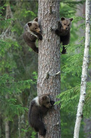 Brown bear cubs climbing tree, Taiga Forest, Finland Stock Photo - Premium Royalty-Free, Code: 649-07118550