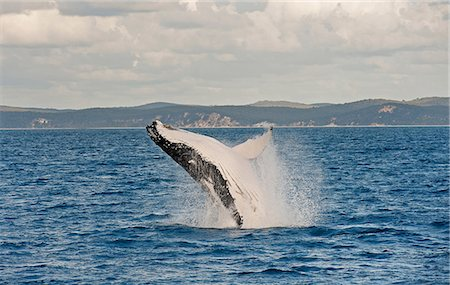 Humpback whale breaching, Hervey Bay, Queensland, Australia Stock Photo - Premium Royalty-Free, Code: 649-07118745