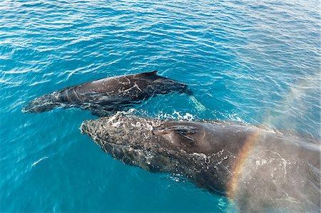rainbow - Adult humpback whale and calf, Hervey Bay, Queensland, Australia Stock Photo - Premium Royalty-Free, Code: 649-07118747