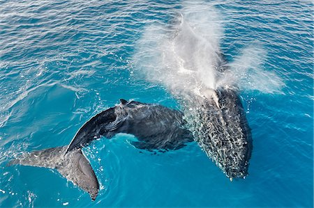 Adult humpback whale and calf blowing, Hervey Bay, Queensland, Australia Stock Photo - Premium Royalty-Free, Code: 649-07118748