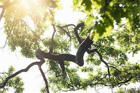 Low angle backlit detail of oak tree Stock Photo - Premium Royalty-Free, Code: 649-07119061