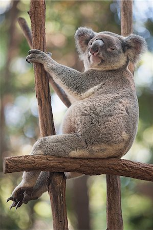 Portrait of relaxed koala bear, Lone Pine Sanctuary, Brisbane, Australia Stock Photo - Premium Royalty-Free, Code: 649-07119094