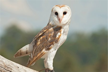 queensland - Barn Owl on branch, Lone Pine Koala Sanctuary, Brisbane, Australia Stock Photo - Premium Royalty-Free, Code: 649-07119091