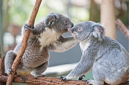 friendship - Two koala bears on branch, Lone Pine Sanctuary, Brisbane, Australia Stock Photo - Premium Royalty-Free, Code: 649-07119092
