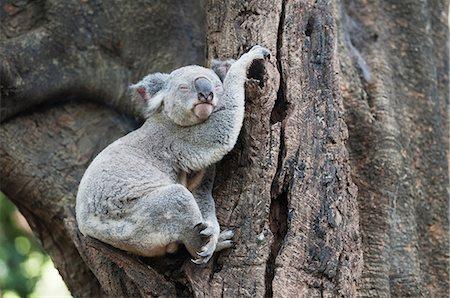 Portrait of sleeping koala bear, Lone Pine Sanctuary, Brisbane, Australia Stock Photo - Premium Royalty-Free, Code: 649-07119093