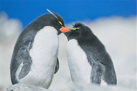 Two Rockhopper penguins (Eudyptes chrysocome chrysocome) in an affectionate mood, Falkland Islands Stock Photo - Premium Royalty-Free, Code: 649-07119105