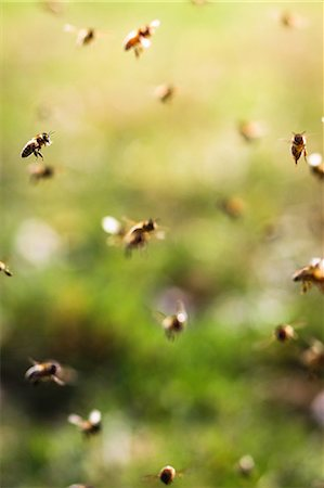 Bees flying, close up Stock Photo - Premium Royalty-Free, Code: 649-07119699