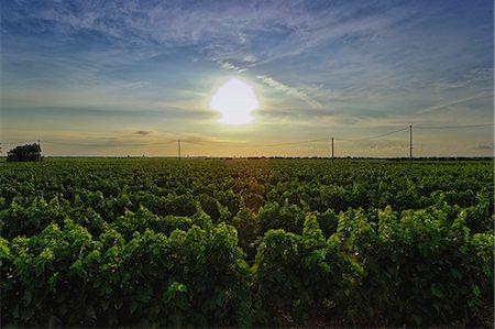 Vineyard, Veglie, Lecce, Puglia, Italy Stock Photo - Premium Royalty-Free, Code: 649-07239054