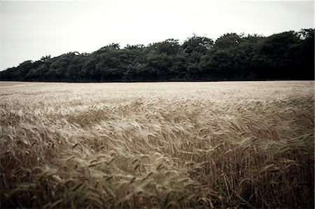 Wheat field in breeze Stock Photo - Premium Royalty-Free, Code: 649-07239170
