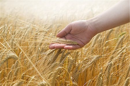 Hand touching wheat Stock Photo - Premium Royalty-Free, Code: 649-07239429